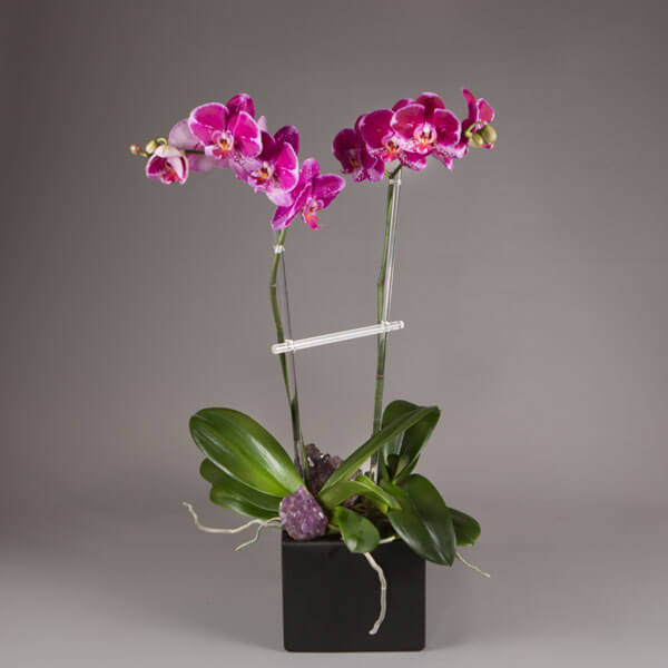 Double Phalaenopsis Orchids